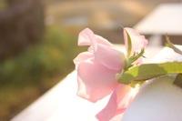 ピンク色の薔薇の写真